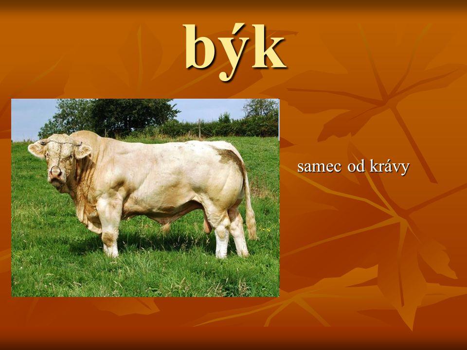 býk samec od krávy samec od krávy