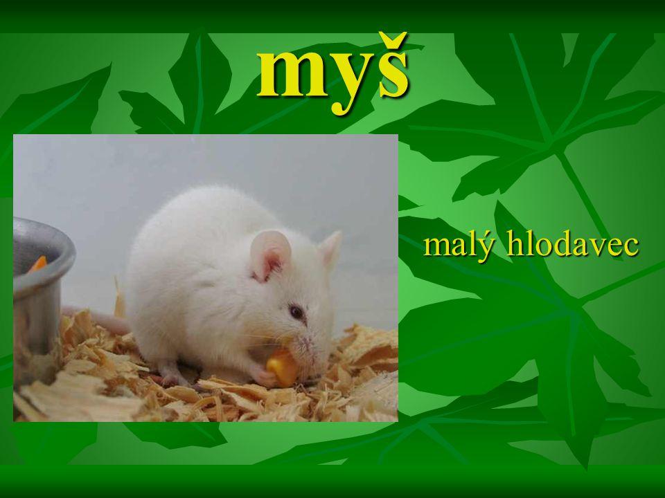 myš malý hlodavec malý hlodavec
