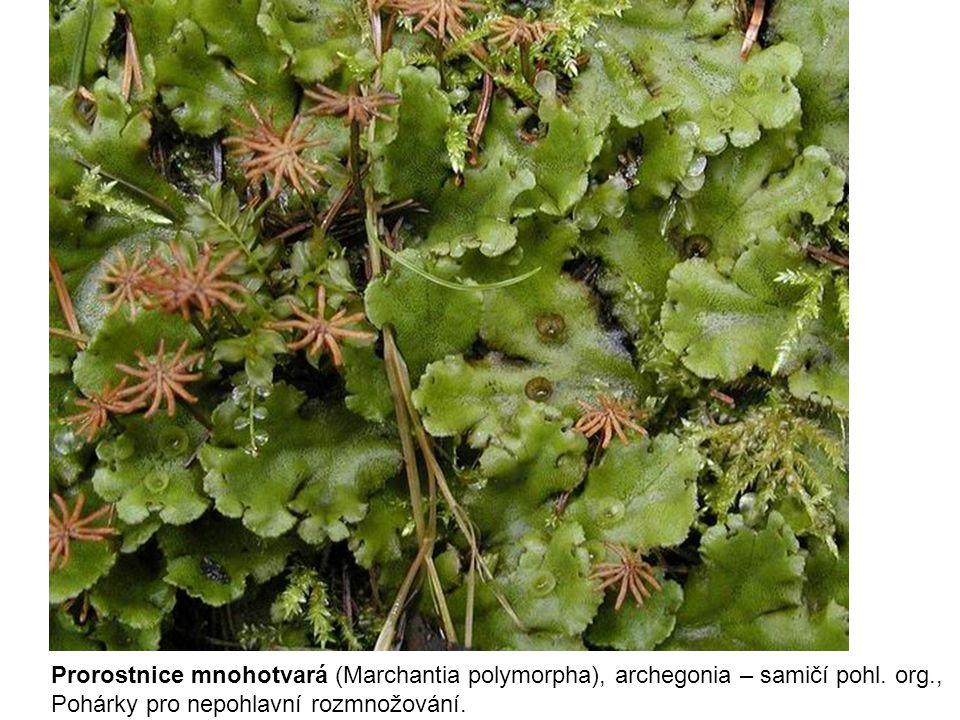 Prorostnice mnohotvará (Marchantia polymorpha), archegonia – samičí pohl. org., Pohárky pro nepohlavní rozmnožování.