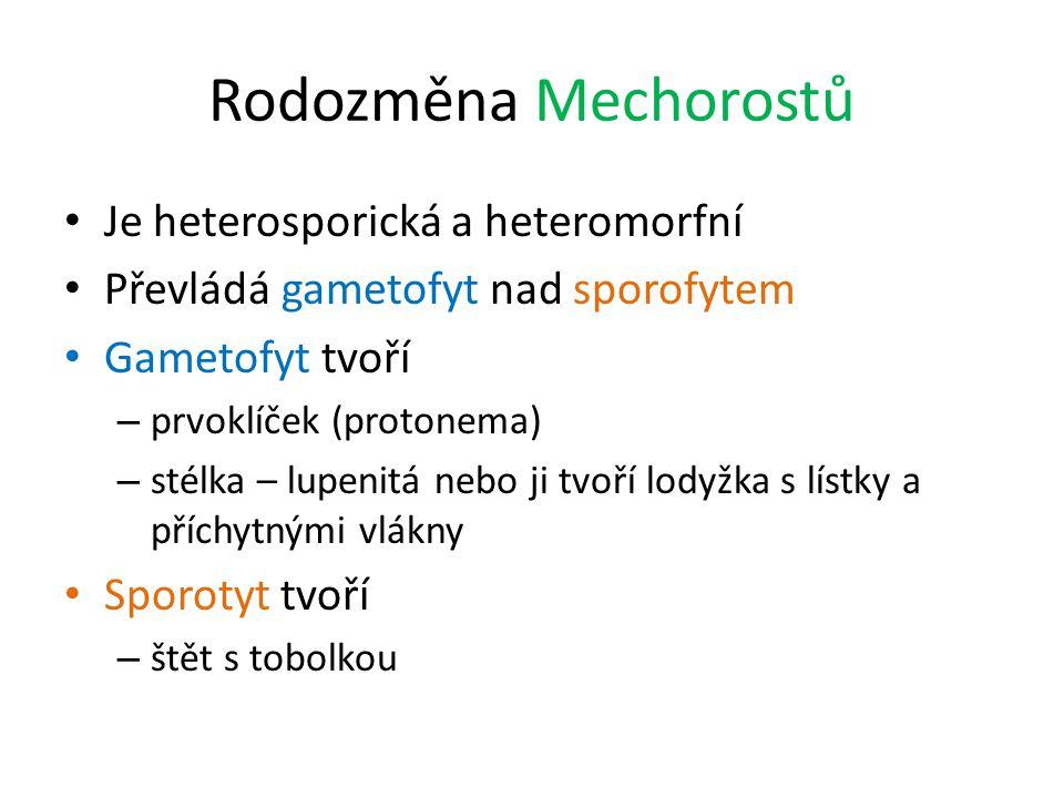 Rodozměna Mechorostů Je heterosporická a heteromorfní Převládá gametofyt nad sporofytem Gametofyt tvoří – prvoklíček (protonema) – stélka – lupenitá n