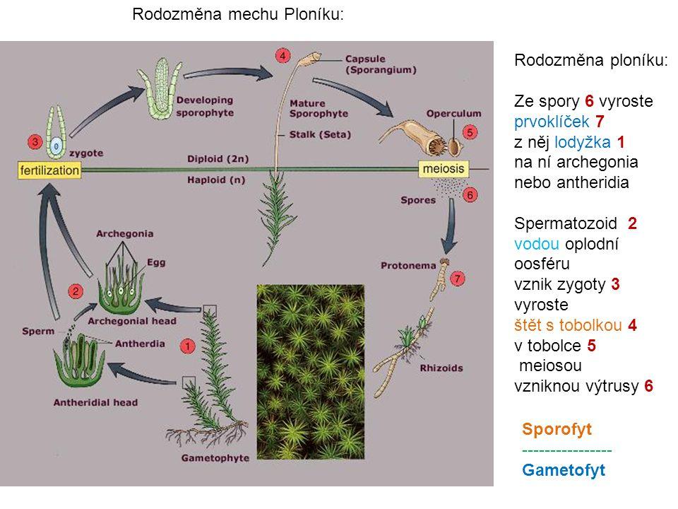 Rodozměna ploníku: Ze spory 6 vyroste prvoklíček 7 z něj lodyžka 1 na ní archegonia nebo antheridia Spermatozoid 2 vodou oplodní oosféru vznik zygoty