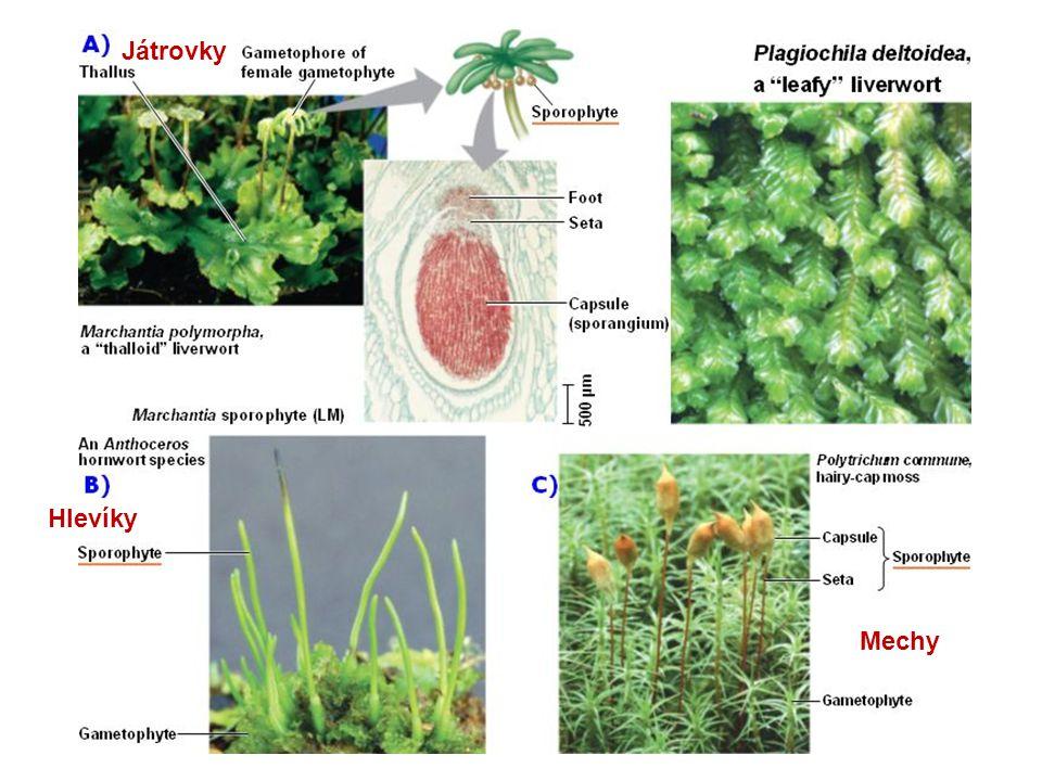 Játrovky (Marchantiophyta) Mají redukovaný prvoklíček Stélka lupenitá nebo rozlišená v lodyžku s lístky bez středové žilky.