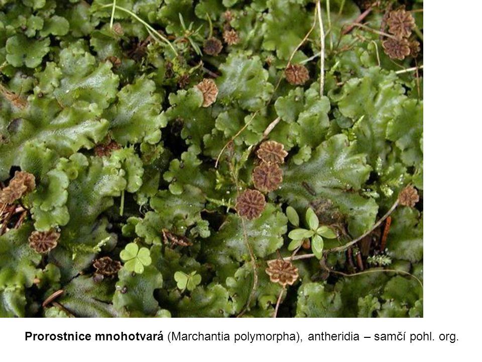 Prorostnice mnohotvará (Marchantia polymorpha), antheridia – samčí pohl. org.