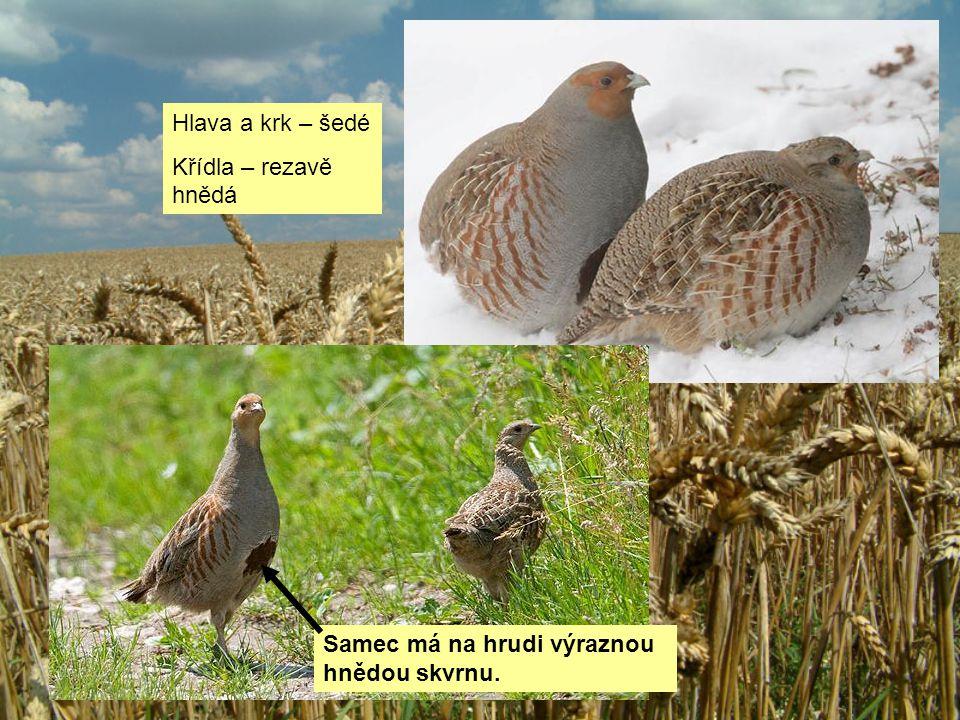 Samec má na hrudi výraznou hnědou skvrnu. Hlava a krk – šedé Křídla – rezavě hnědá