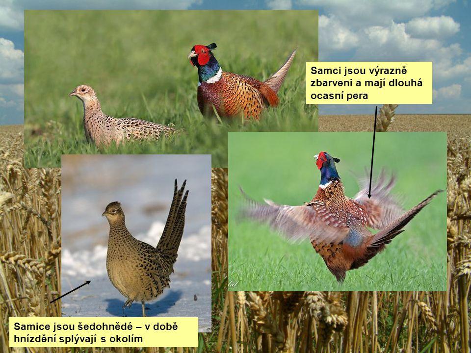 Samci jsou výrazně zbarveni a mají dlouhá ocasní pera Samice jsou šedohnědé – v době hnízdění splývají s okolím
