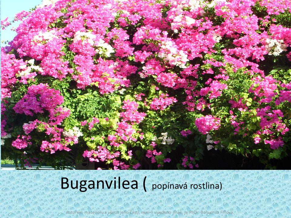 Buganvilea ( popínavá rostlina) Autorem materiálu a všech jeho částí, není-li uvedeno jinak, je PhDr. Bohumila Fillová.