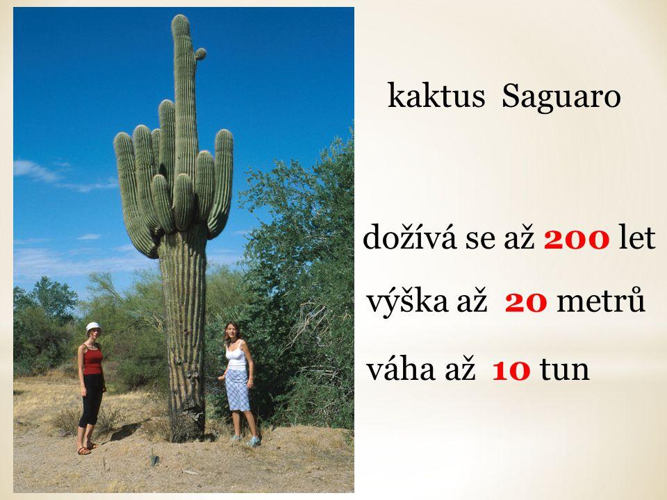 dožívá se až 200 let výška až 20 metrů váha až 10 tun kaktus Saguaro