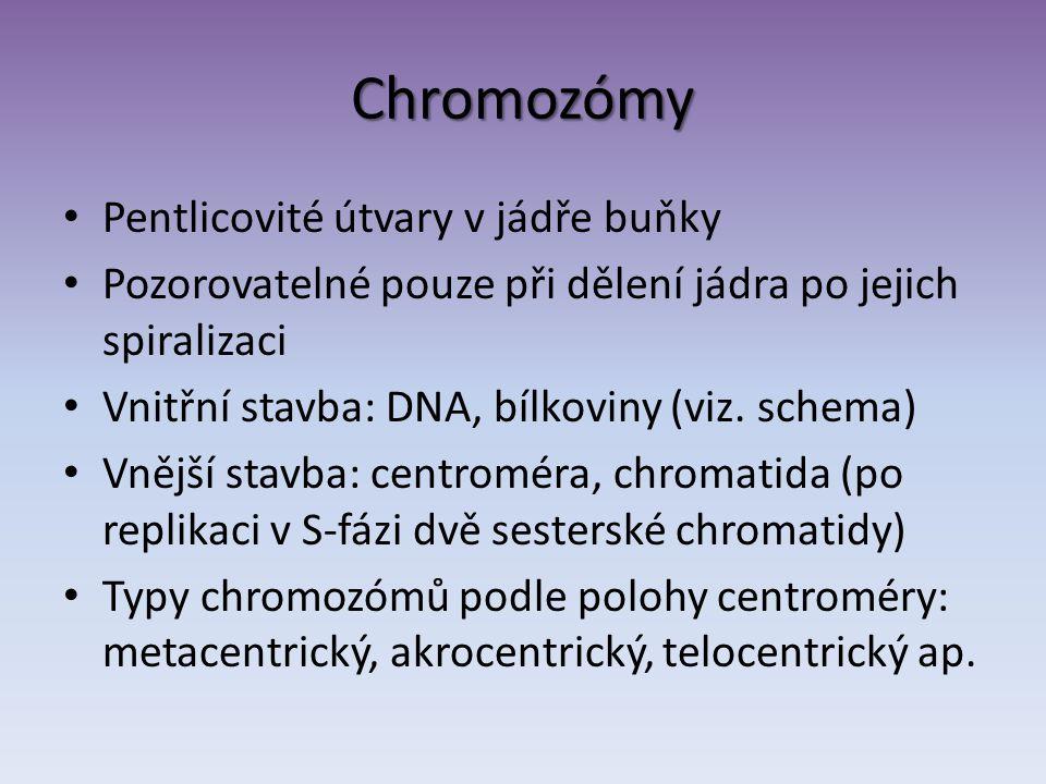 Chromozómy Pentlicovité útvary v jádře buňky Pozorovatelné pouze při dělení jádra po jejich spiralizaci Vnitřní stavba: DNA, bílkoviny (viz.