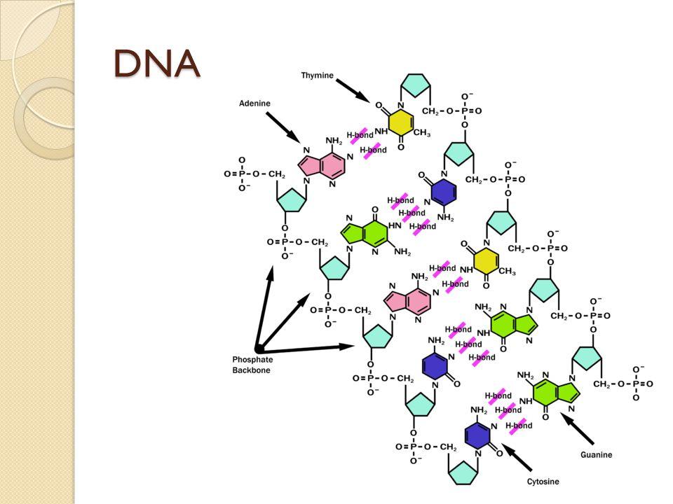 kyselina ribonukleová (RNA) zajišťuje přenos genetické informace z DNA do struktury bílkovin v organismech je přítomna v několika typech: mRNA (mediátorová RNA) rRNA (ribozómová RNA) tRNA (transferová RNA)