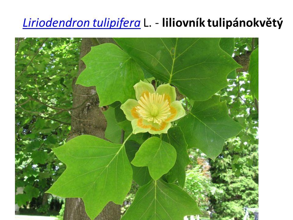 Liriodendron tulipiferaLiriodendron tulipifera L. - liliovník tulipánokvětý