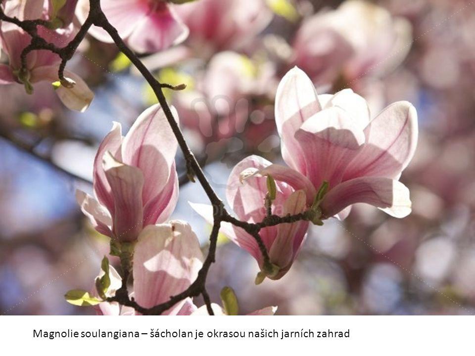 Květ šácholanu je svou stavbou velmi primitivní, není diferencovaný na kalich a korunu.