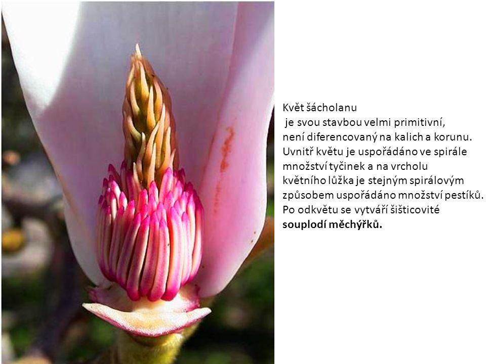 Květ šácholanu je svou stavbou velmi primitivní, není diferencovaný na kalich a korunu. Uvnitř květu je uspořádáno ve spirále množství tyčinek a na vr