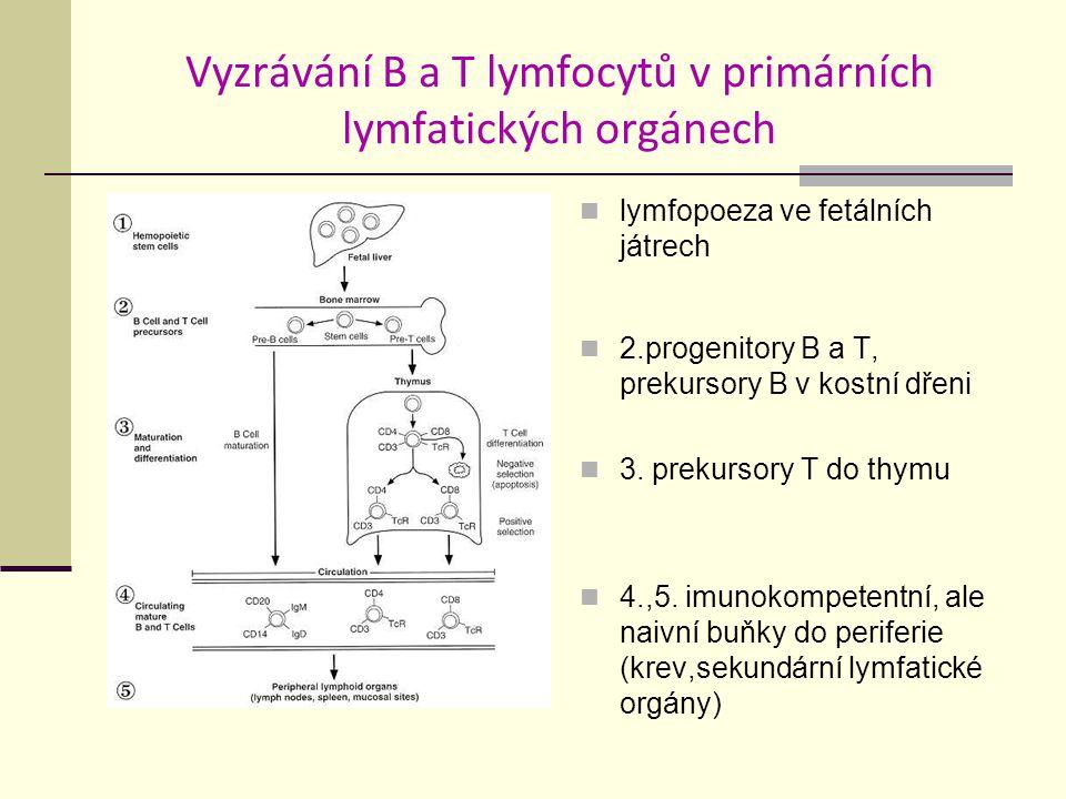 Vyzrávání B a T lymfocytů v primárních lymfatických orgánech lymfopoeza ve fetálních játrech 2.progenitory B a T, prekursory B v kostní dřeni 3.