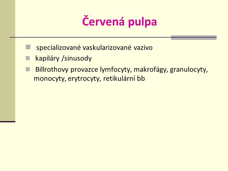 Červená pulpa specializované vaskularizované vazivo kapiláry /sinusody Billrothovy provazce lymfocyty, makrofágy, granulocyty, monocyty, erytrocyty, retikulární bb