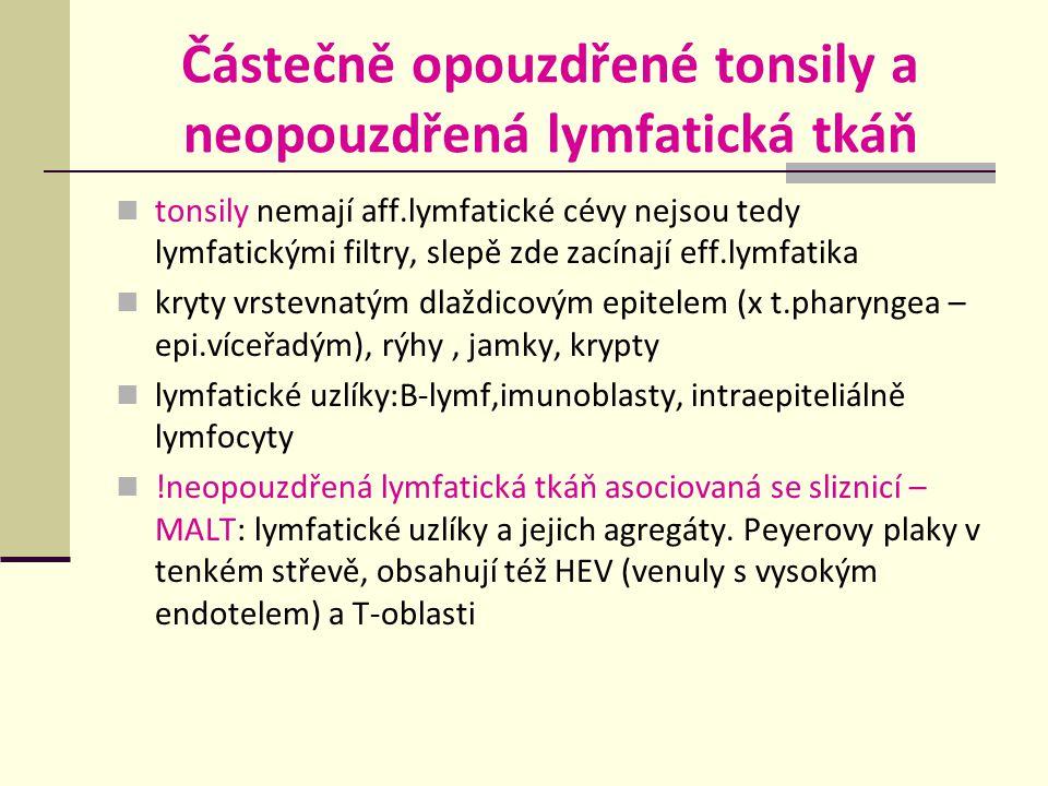 Částečně opouzdřené tonsily a neopouzdřená lymfatická tkáň tonsily nemají aff.lymfatické cévy nejsou tedy lymfatickými filtry, slepě zde zacínají eff.lymfatika kryty vrstevnatým dlaždicovým epitelem (x t.pharyngea – epi.víceřadým), rýhy, jamky, krypty lymfatické uzlíky:B-lymf,imunoblasty, intraepiteliálně lymfocyty !neopouzdřená lymfatická tkáň asociovaná se sliznicí – MALT: lymfatické uzlíky a jejich agregáty.