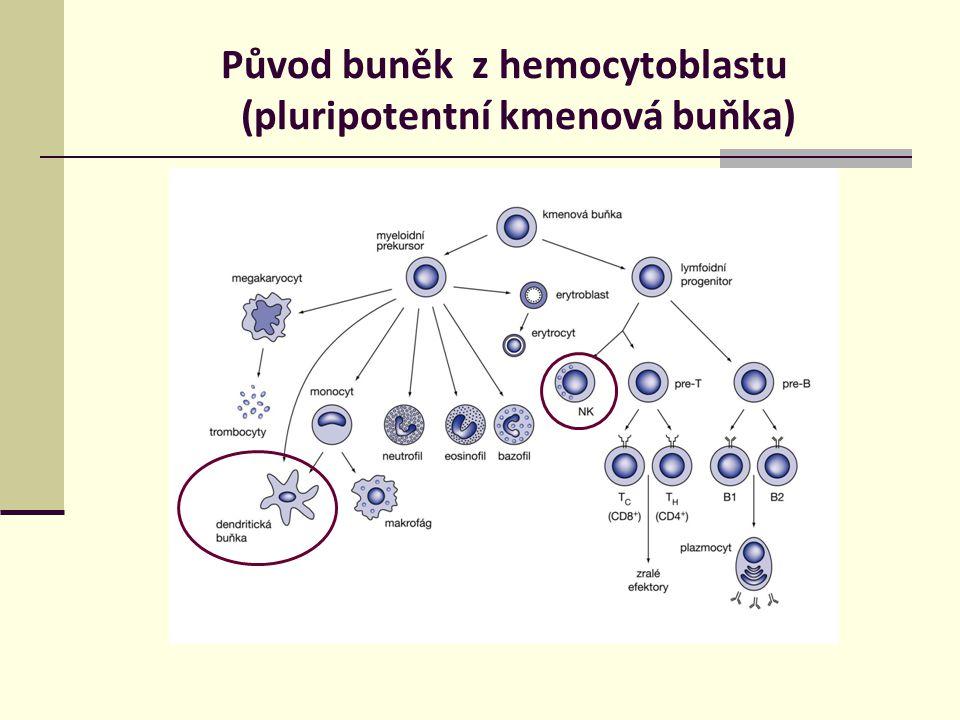 Původ buněk z hemocytoblastu (pluripotentní kmenová buňka)