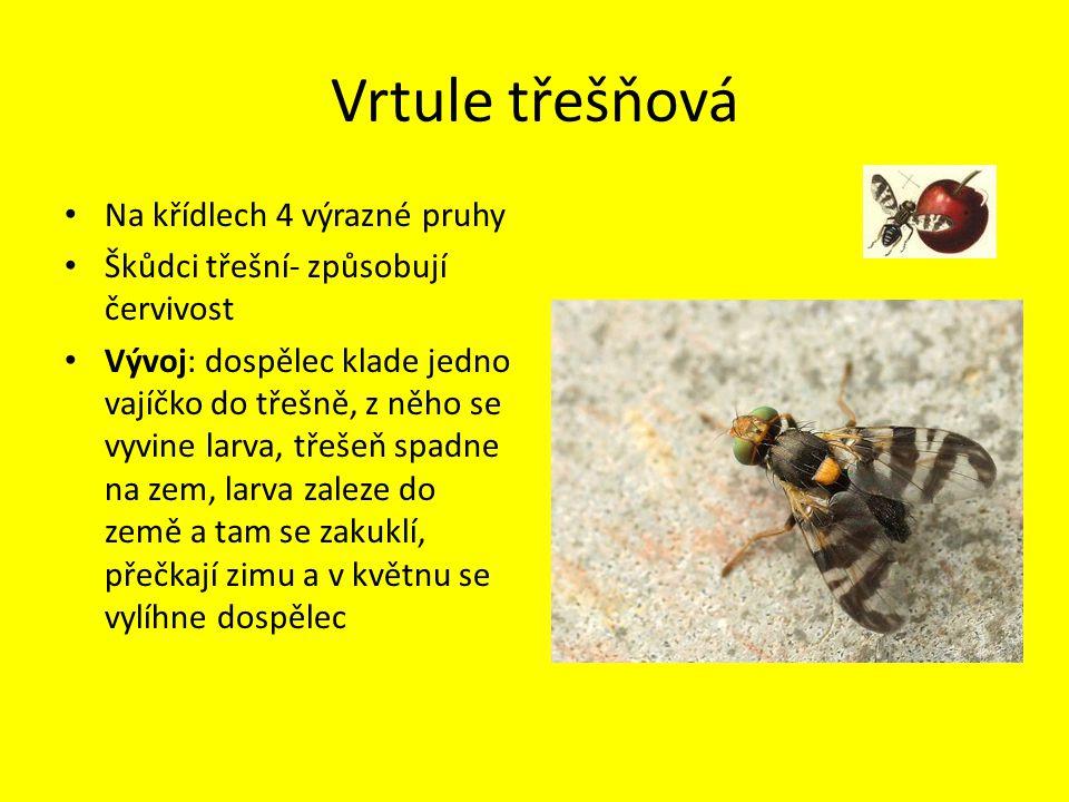 Vrtule třešňová Na křídlech 4 výrazné pruhy Škůdci třešní- způsobují červivost Vývoj: dospělec klade jedno vajíčko do třešně, z něho se vyvine larva,
