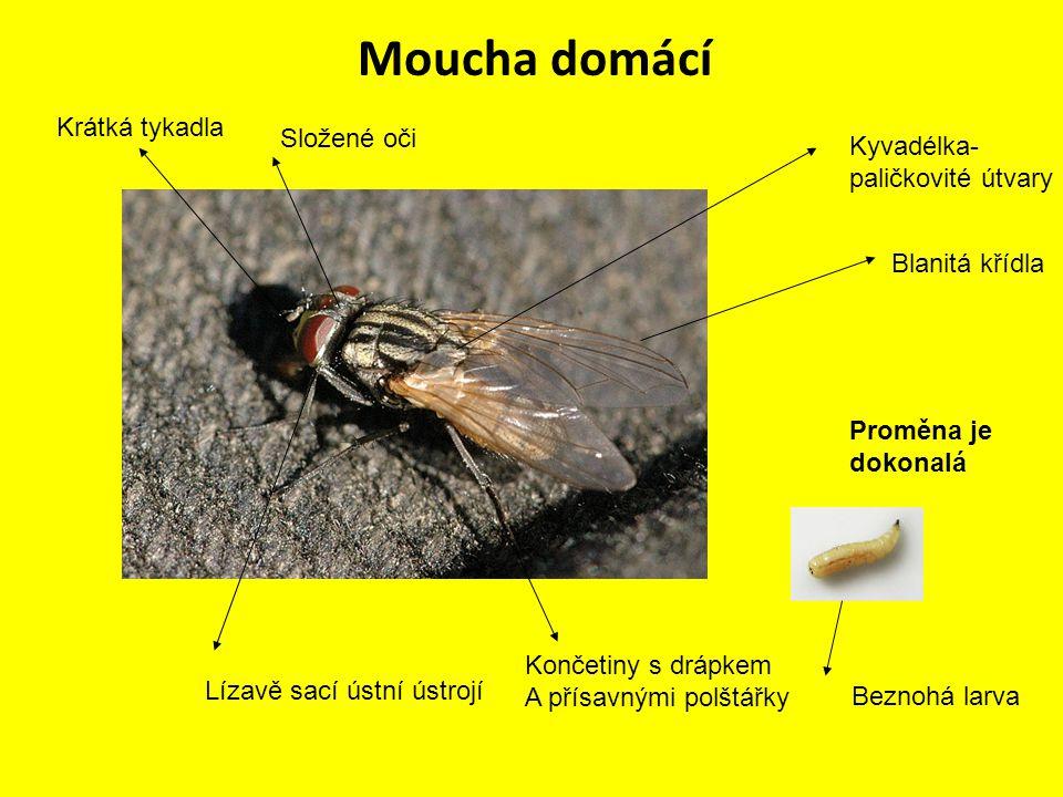 Moucha domácí Přenašeči choroboplodných zárodků a nemocí samička klade vajíčka do zapáchajících látek potrava pro hmyzožravé ptáky (pěvce)