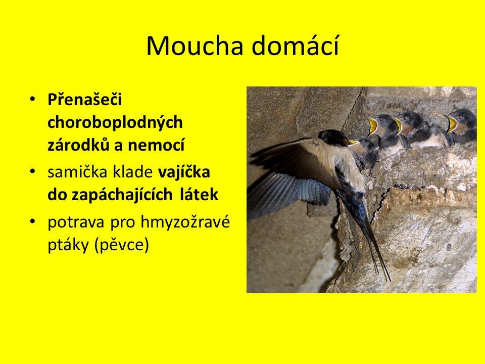 Bodalka stájová Ústní ústrojí bodavě sací Menší než moucha domácí Obtížný hmyz pro velká domácí zvířata i člověka Bodavě sací ústní ústrojí