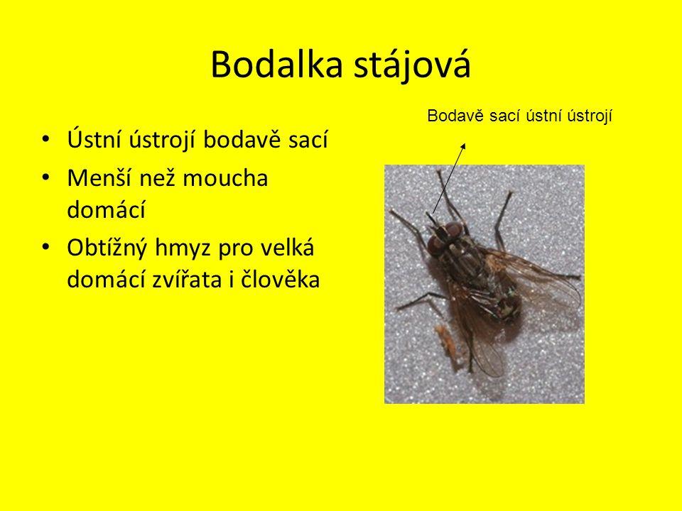 Masařka obecná Větší než moucha domácí Vyhledává zahnívající maso, do kterého vkládá vajíčka z nich se líhnou larvy (červi)
