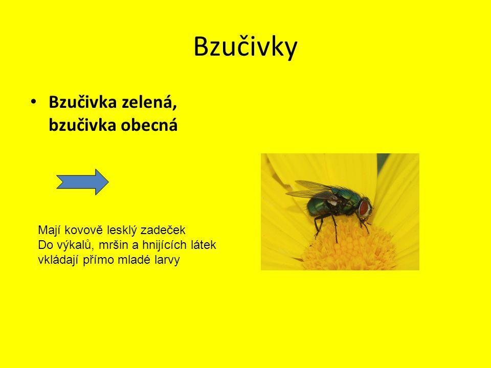 Bzučivky Bzučivka zelená, bzučivka obecná Mají kovově lesklý zadeček Do výkalů, mršin a hnijících látek vkládají přímo mladé larvy