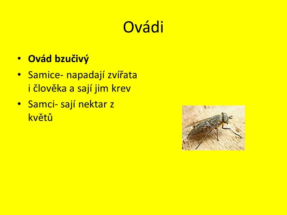 Ovádi Ovád bzučivý Samice- napadají zvířata i člověka a sají jim krev Samci- sají nektar z květů
