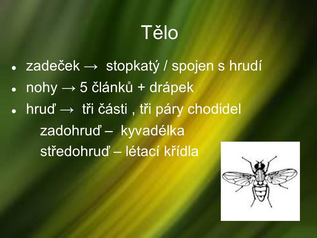 fasetové oči sosák tykadla – krátká / dlouhá aktivní ve dne (moucha) i v noci (komár)