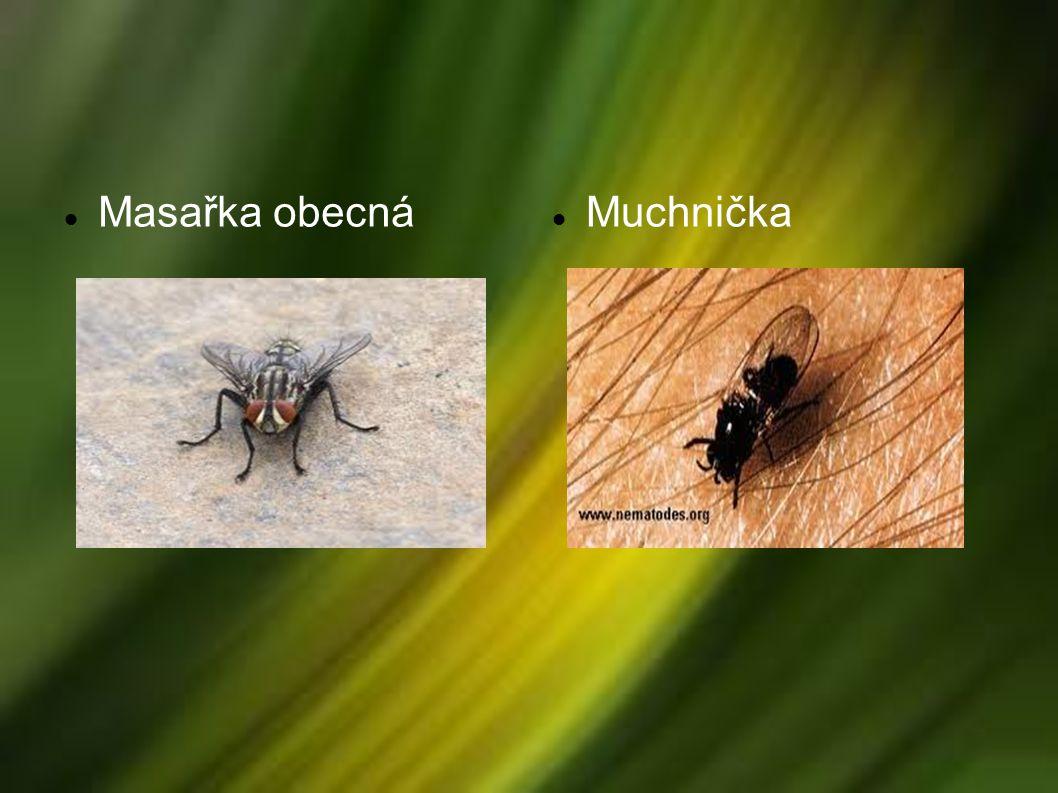 Komár pisklavý Komár anofeles