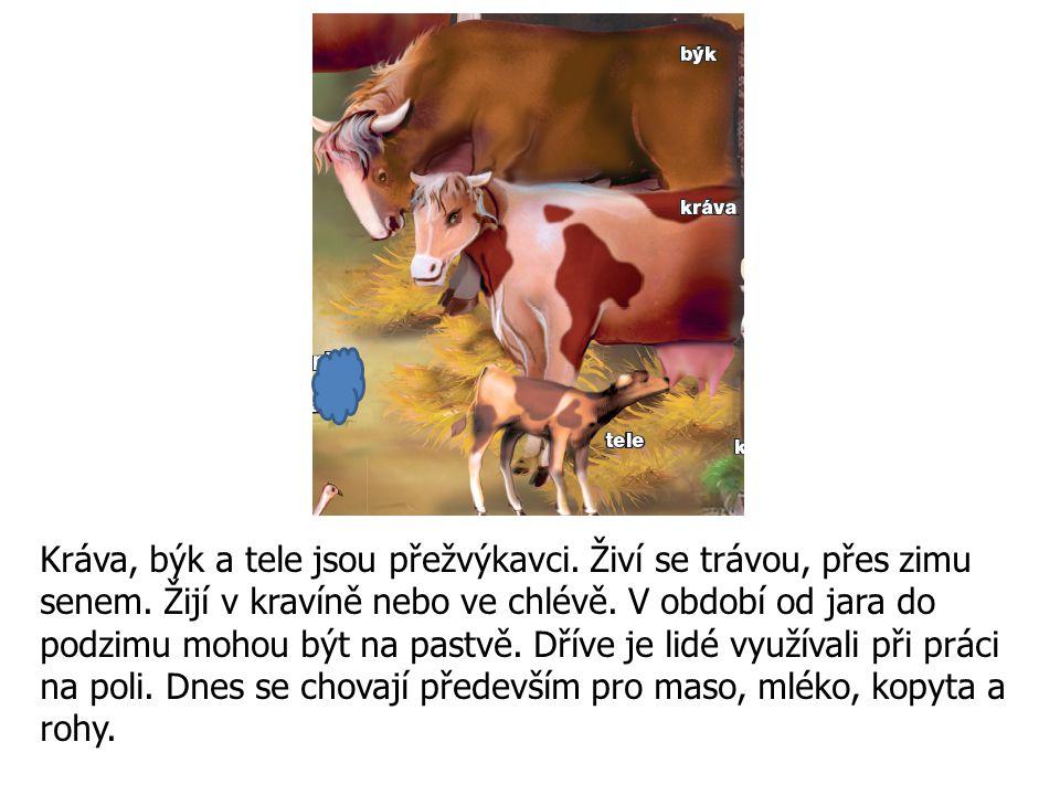 Kráva, býk a tele jsou přežvýkavci. Živí se trávou, přes zimu senem. Žijí v kravíně nebo ve chlévě. V období od jara do podzimu mohou být na pastvě. D