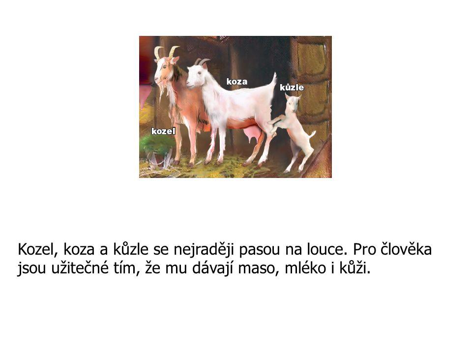 Kozel, koza a kůzle se nejraději pasou na louce. Pro člověka jsou užitečné tím, že mu dávají maso, mléko i kůži.