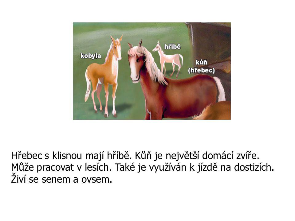 Hřebec s klisnou mají hříbě. Kůň je největší domácí zvíře. Může pracovat v lesích. Také je využíván k jízdě na dostizích. Živí se senem a ovsem.