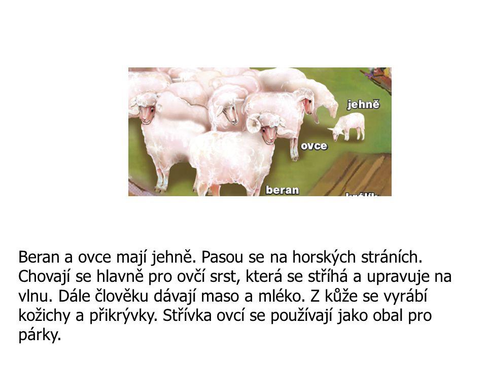 Beran a ovce mají jehně. Pasou se na horských stráních. Chovají se hlavně pro ovčí srst, která se stříhá a upravuje na vlnu. Dále člověku dávají maso