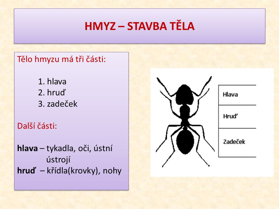 HMYZ – STAVBA TĚLA Tělo hmyzu má tři části: 1. hlava 2. hruď 3. zadeček Další části: hlava – tykadla, oči, ústní ústrojí hruď – křídla(krovky), nohy T