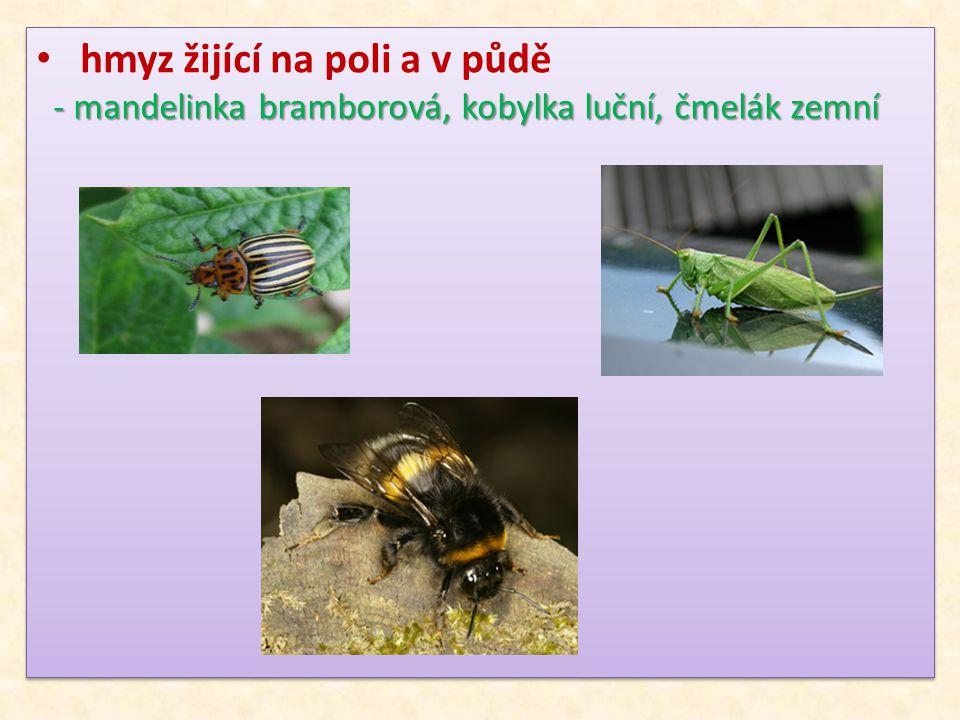 hmyz žijící na poli a v půdě - mandelinka bramborová, kobylka luční, čmelák zemní - mandelinka bramborová, kobylka luční, čmelák zemní hmyz žijící na