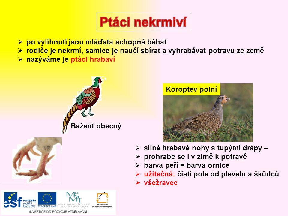 Sýkora koňadra  pták šplhavec  silný žlutý zobák, červená čepička  potrava: larvy dřevokazného hmyzu, mravenci, kukly Datel černý Strakapoud Čáp bílý