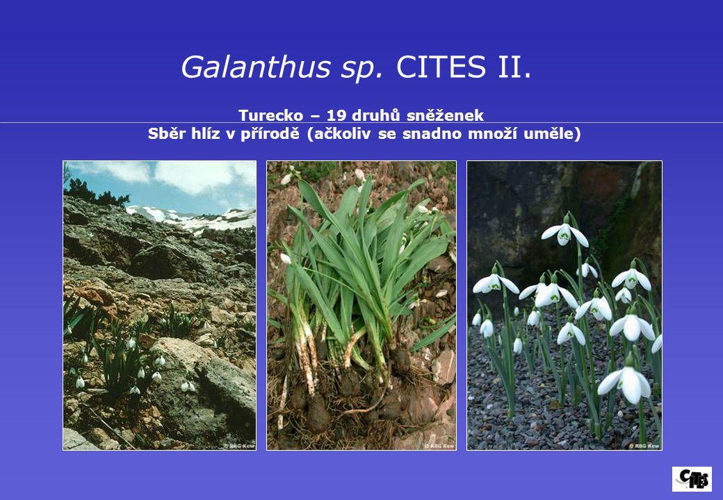 Galanthus sp.CITES II.