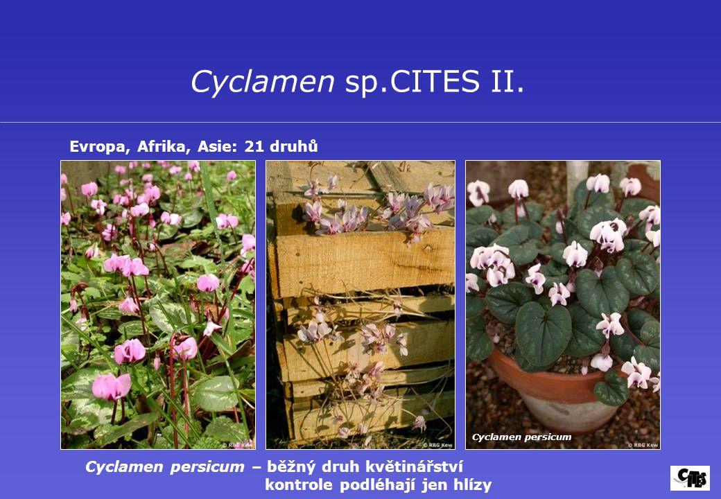 Cyclamen sp.CITES II. Evropa, Afrika, Asie: 21 druhů Cyclamen persicum Cyclamen persicum – běžný druh květinářství kontrole podléhají jen hlízy