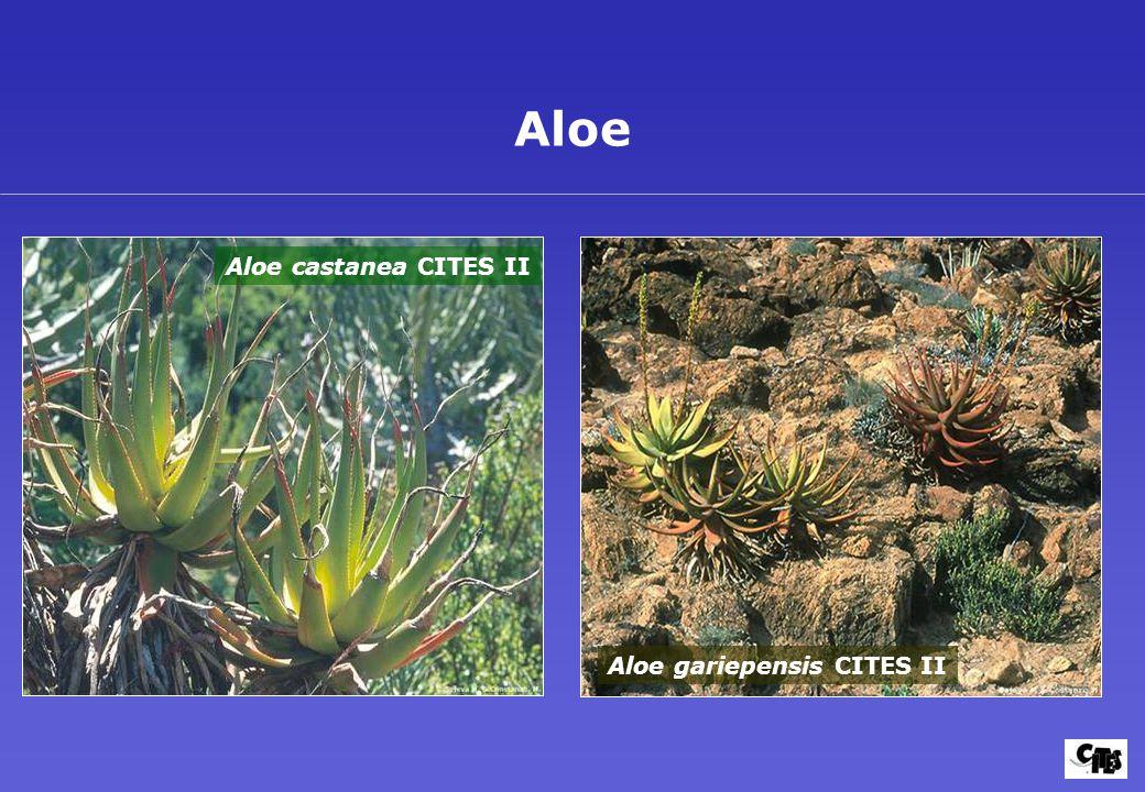 Aloe gariepensis CITES II Aloe Aloe castanea CITES II
