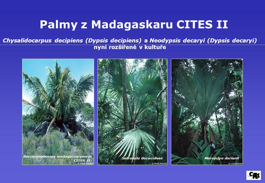 Palmy z Madagaskaru CITES II Beccaryophoenix madagascaryensis CITES II Satranala decussilvaeMarojejya darianii Chysalidocarpus decipiens (Dypsis decipiens) a Neodypsis decaryi (Dypsis decaryi) nyní rozšířené v kultuře