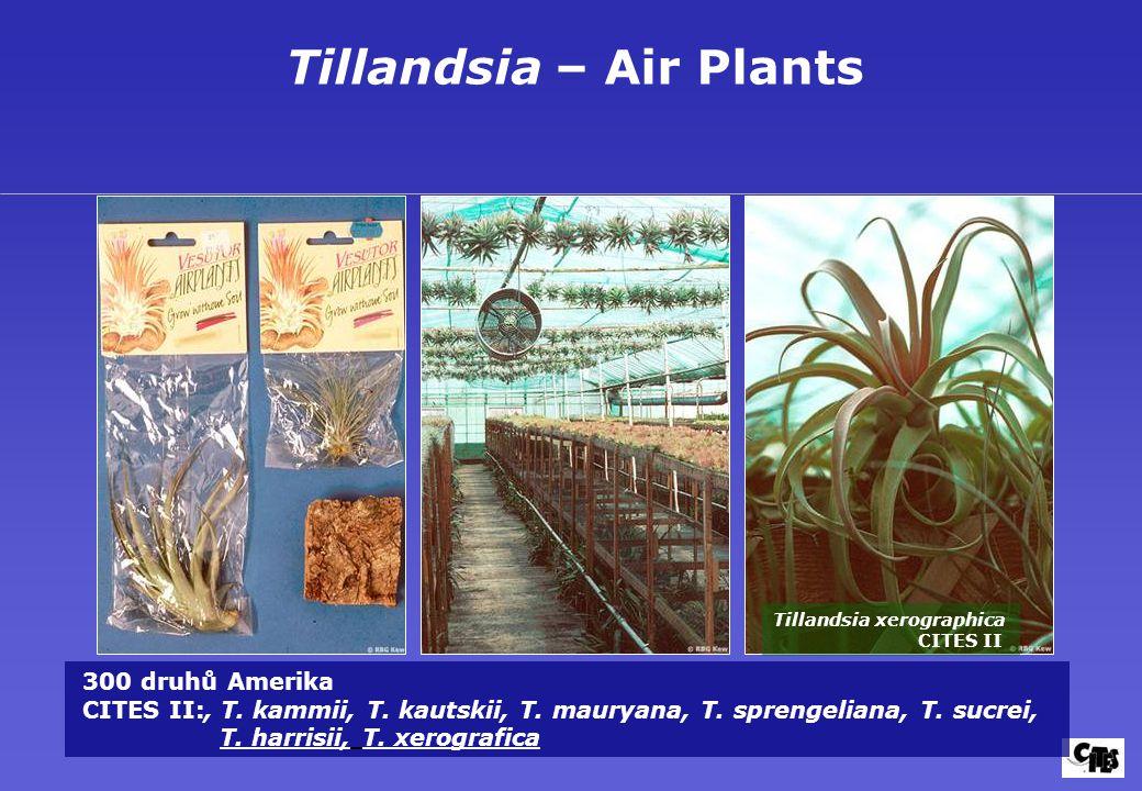 Tillandsia – Air Plants Tillandsia xerographica CITES II 300 druhů Amerika CITES II:, T. kammii, T. kautskii, T. mauryana, T. sprengeliana, T. sucrei,