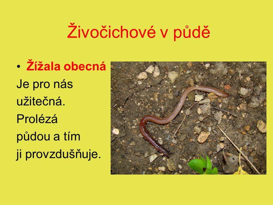 Živočichové v půdě Žížala obecná Je pro nás užitečná. Prolézá půdou a tím ji provzdušňuje.