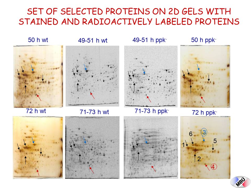 SET OF SELECTED PROTEINS ON 2D GELS WITH STAINED AND RADIOACTIVELY LABELED PROTEINS 72 h ppk - 72 h wt 50 h wt50 h ppk - 49-51 h wt 49-51 h ppk - 71-7