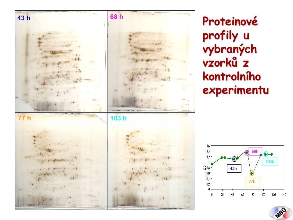 43 h 68 h 77 h103 h 43h 68h 77h 103h Proteinové profily u vybraných vzorků z kontrolního experimentu