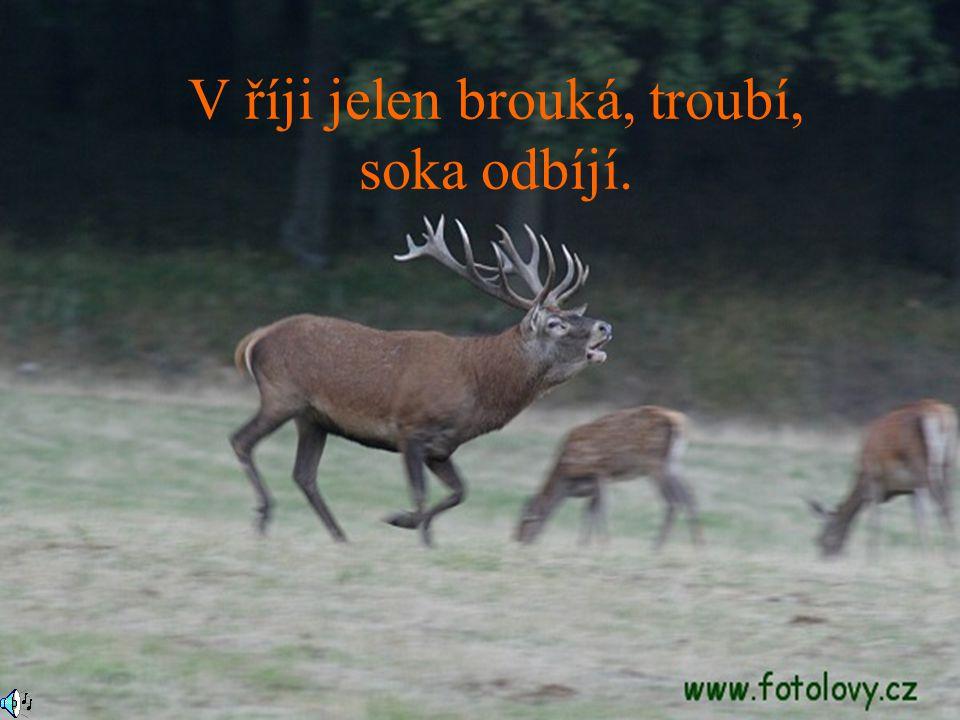 V říji jelen brouká, troubí, soka odbíjí.