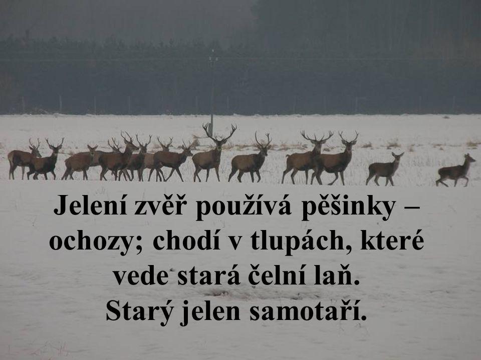 Jelení zvěř používá pěšinky – ochozy; chodí v tlupách, které vede stará čelní laň. Starý jelen samotaří.