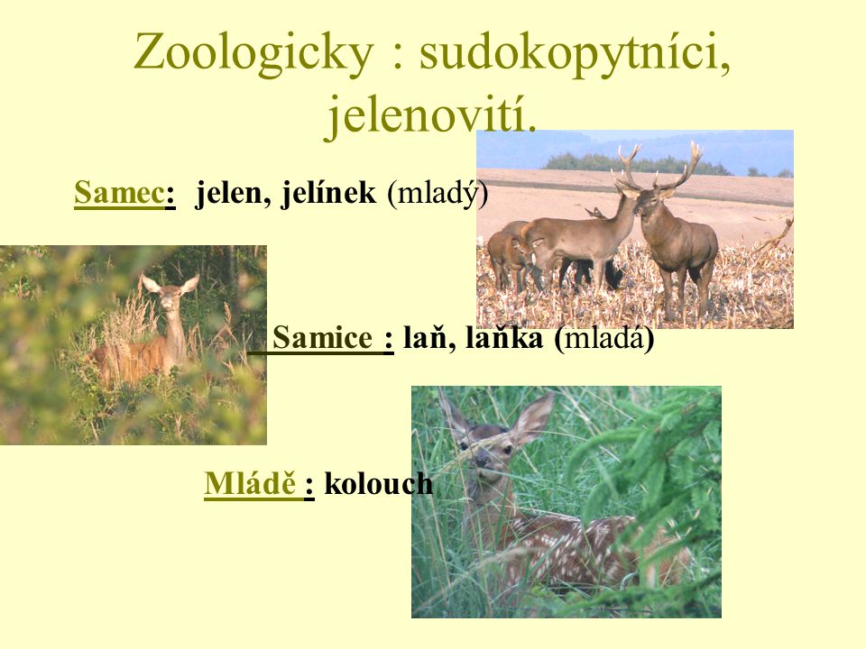 Zoologicky : sudokopytníci, jelenovití. Samec: jelen, jelínek (mladý) Samice : laň, laňka (mladá) Mládě : kolouch