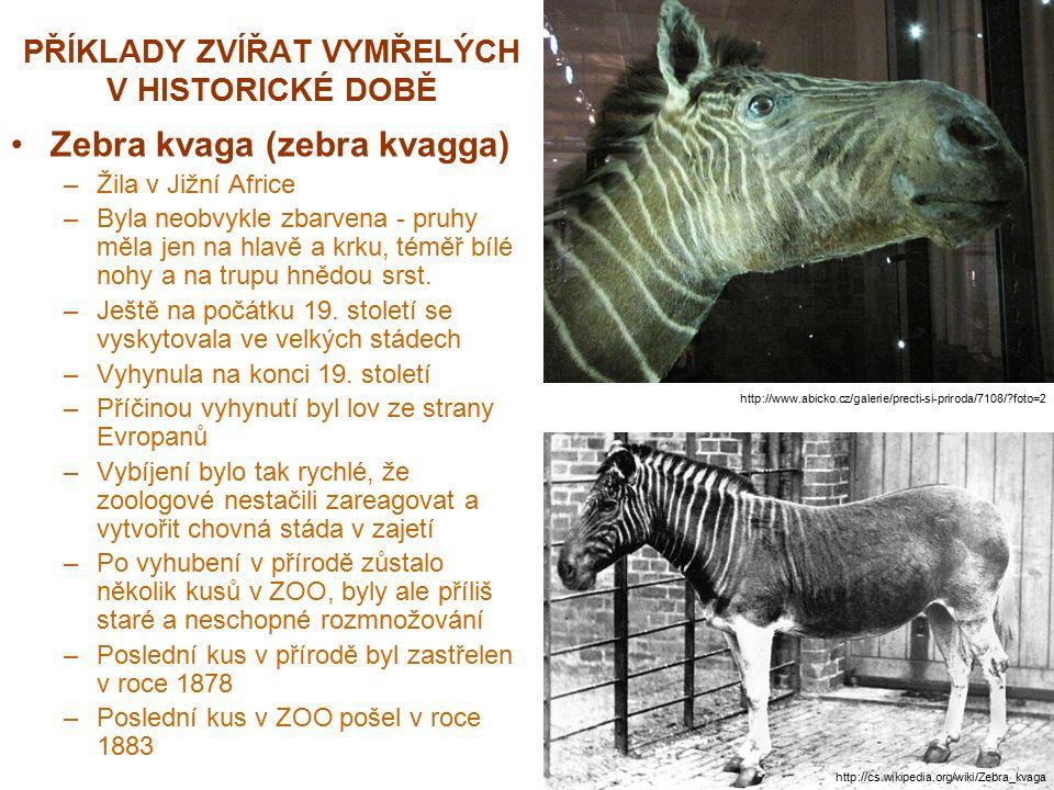 PŘÍKLADY ZVÍŘAT VYMŘELÝCH V HISTORICKÉ DOBĚ Zebra kvaga (zebra kvagga) –Žila v Jižní Africe –Byla neobvykle zbarvena - pruhy měla jen na hlavě a krku,