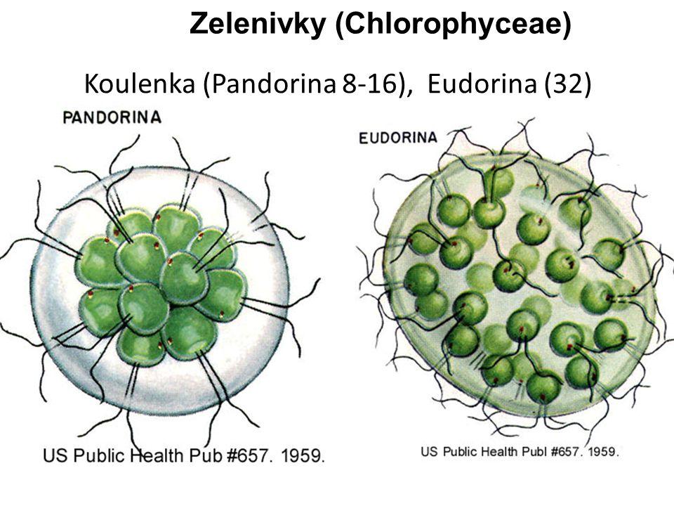 Koulenka (Pandorina 8-16), Eudorina (32) Zelenivky (Chlorophyceae)