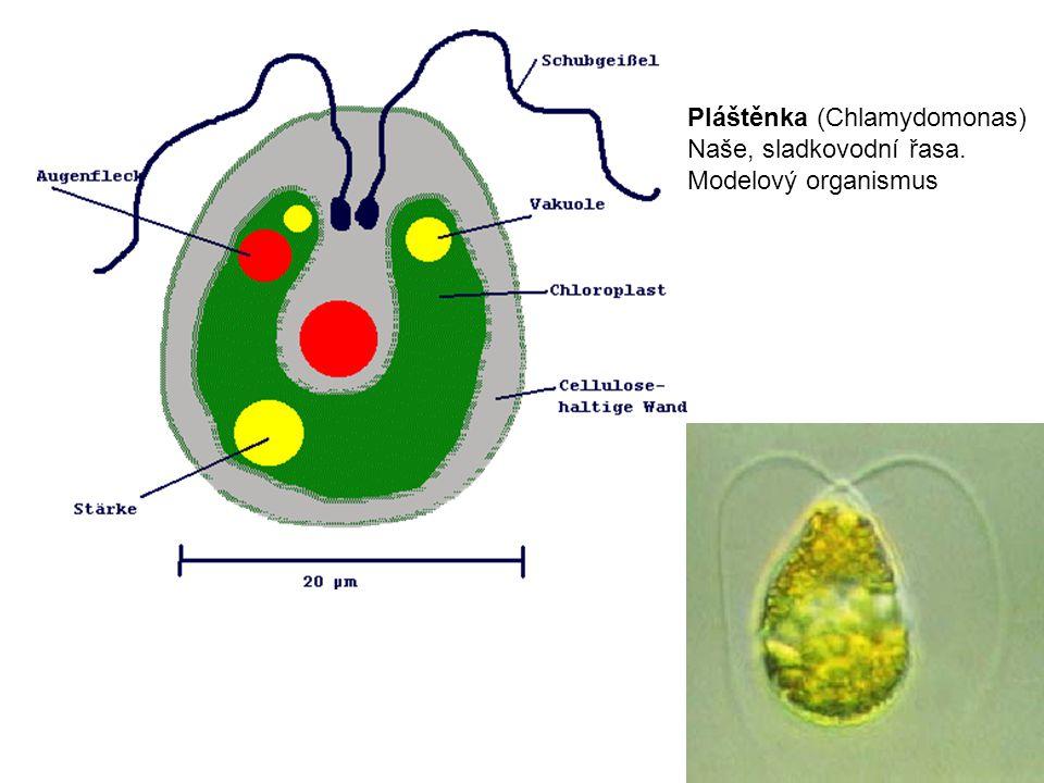 Pláštěnka (Chlamydomonas) Naše, sladkovodní řasa. Modelový organismus