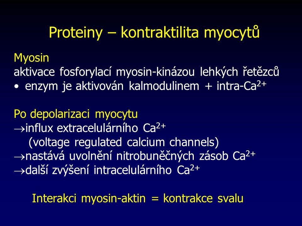 Proteiny – kontraktilita myocytů Myosin aktivace fosforylací myosin-kinázou lehkých řetězců enzym je aktivován kalmodulinem + intra-Ca 2+ Po depolarizaci myocytu  influx extracelulárního Ca 2+ (voltage regulated calcium channels)  nastává uvolnění nitrobuněčných zásob Ca 2+  další zvýšení intracelulárního Ca 2+ Interakci myosin-aktin = kontrakce svalu